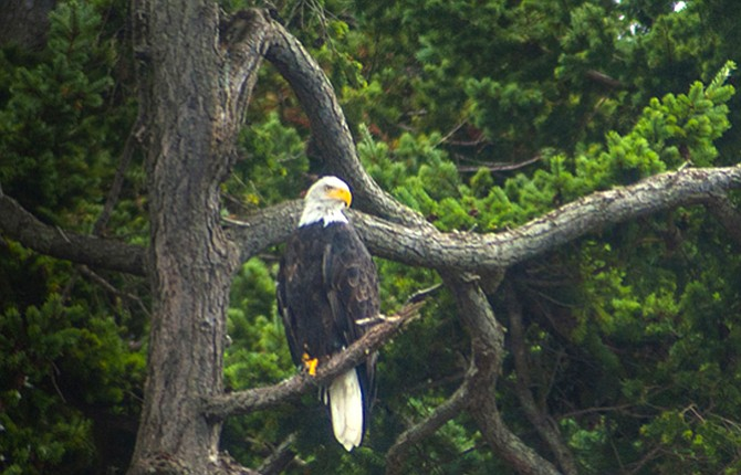 A bald eagle sits above the river.