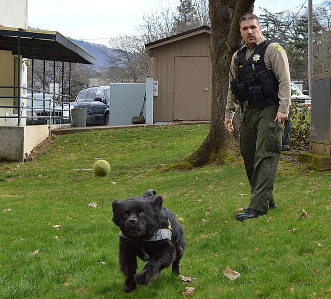 """Luke the K9 chases a tennis ball thrown by Deputy Travis Paulsen out behind the Hood River County Courthouse. The tennis ball is Luke's reward when he makes a drug find. """"He goes crazy for it,"""" Paulsen says."""