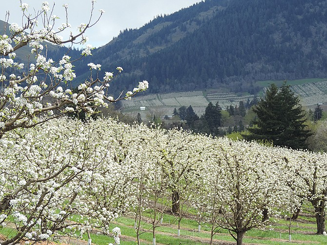 PEAR TREES in full bloom east of Orchard Road, looking toward the bountiful Pine Grove section of Hood River valley.