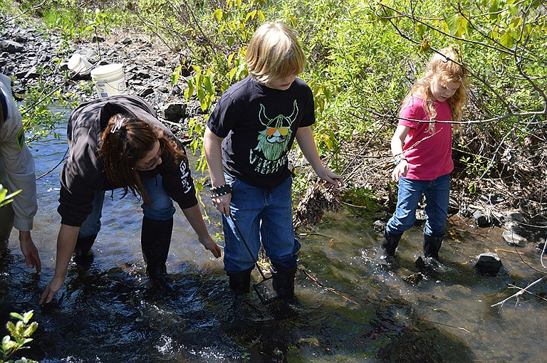 """Rachel, Leif and Lila Mortenson """"sweep"""" Coho fry towards waiting nets on Rock Creek. Volunteers gathered Thursday and Friday morning to help the fish continue their run to the Columbia."""