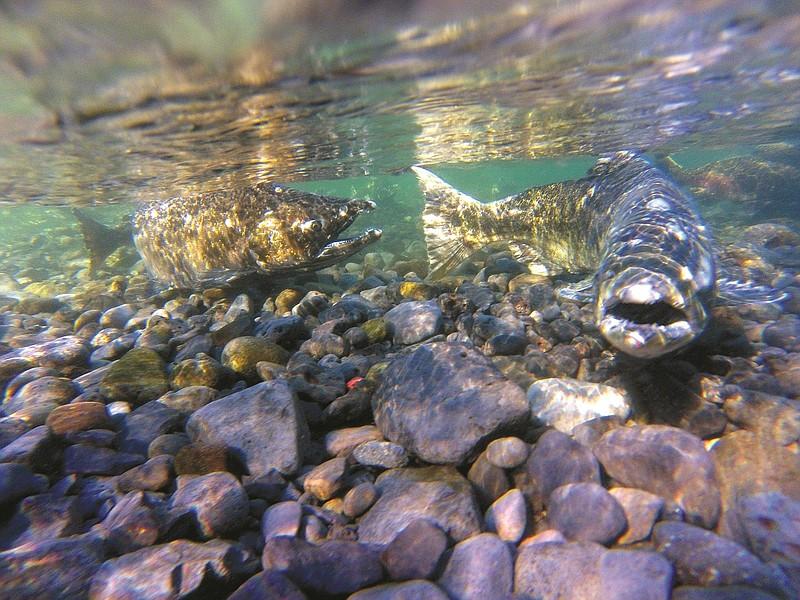 Hot temperatures stressing pacific northwest fish hood for Pacific northwest fish