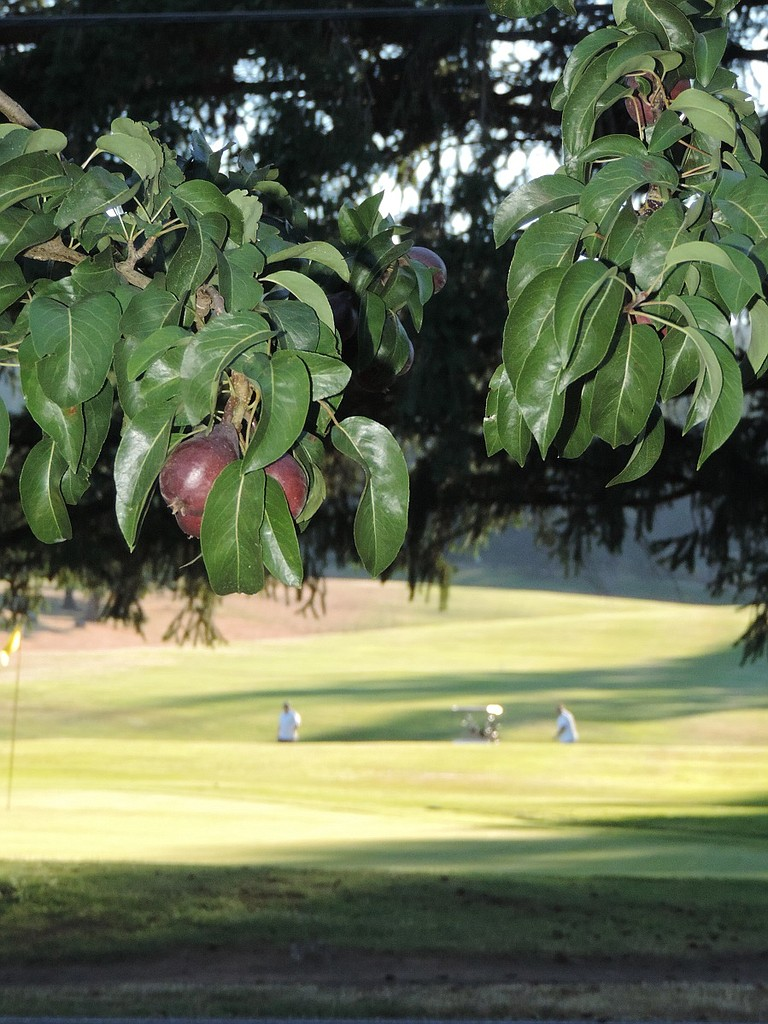 FRUIT develops on west Hood River valley trees while golfers enjoy a summer round. Irrigation districts are working with customers to cut back on water use in order to reserve sufficient supplies for farmers. Irrigation district officials are hoping Governor Brown's drought declaration this week will help raise awareness among the general population about the need to cut water use at least 25 percent.