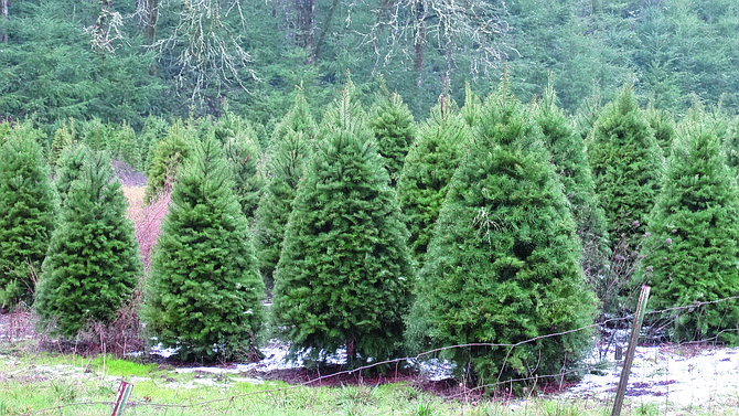 With the season over, tree farmers will start replanting.