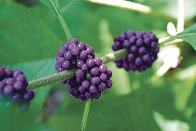 The purple berries of beautyberry offer sustenance to birds in winter when they need extra energy to survive cold weather.