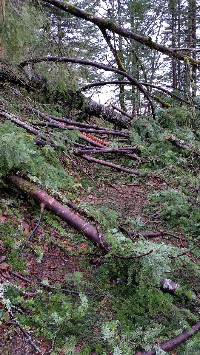 TRAIL SYSTEMS west of Hood River resemble mazes of downed trees and branches and uprooted conifers, in what one National Scenic Area official called the worst damage in five years. With more winds and damage a certainty, crews will wait until early spring to make repairs.