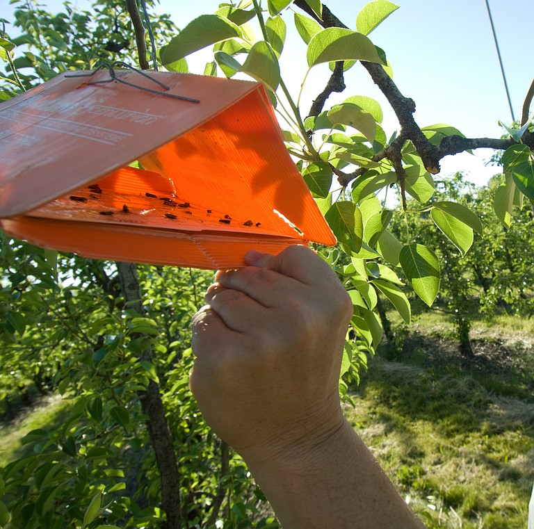 Pheromone traps are an effective strategy for controlling insects on fruit trees, including coddling moths on apples and pears.