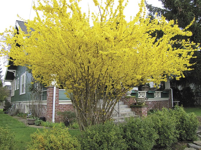 A spring-blooming shrub like forsythia should be pruned after it flowers so that the following year it lives up to its potential.