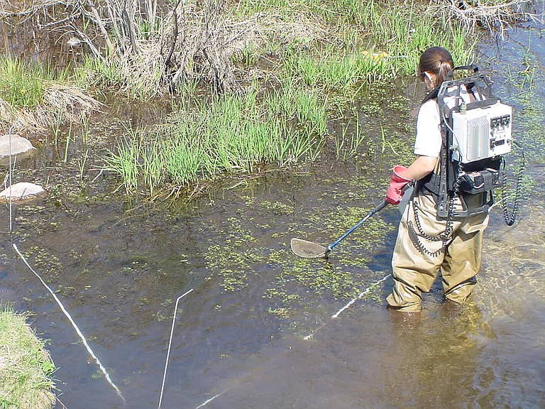 DANYA SANDERS, Fish and Wildlife Service employee, uses a backpack electro fisher to search for larval sea lampreys. The eel-like jawless fish may be returning to the White Salmon River.