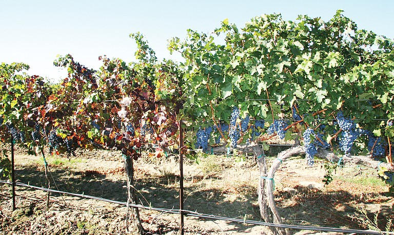 Cabernet Sauvignon vines affected with the grapevine leaf  roll disease stand in contrast to healthy vines.