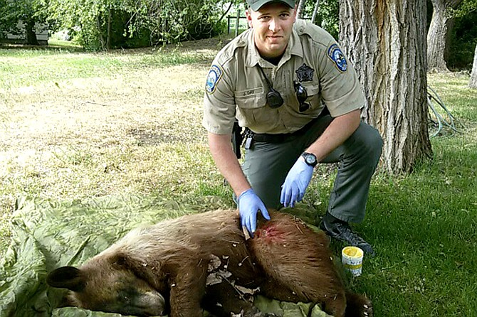 Bear captured in oroville yard omak chronicle for Us fish and wildlife service jobs