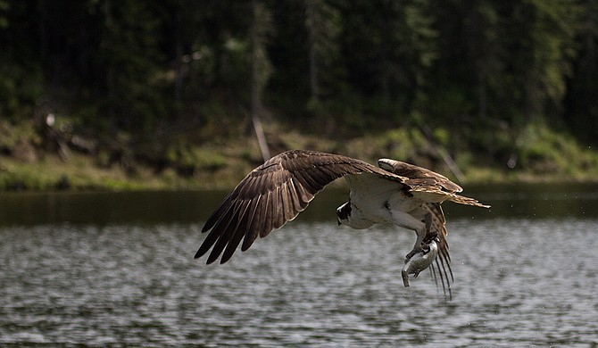 """An Osprey living up to its name as the """"fish hawk."""""""
