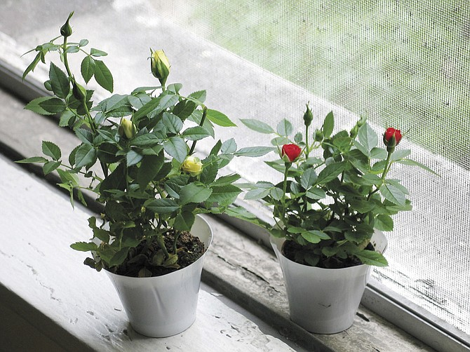 Though many people try to grow miniature roses on a window sill, they prefer the outdoor life.