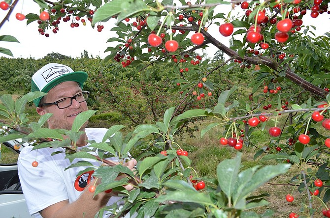 SOLERA brewer Jason Kahler picks his prized Balaton cherries. The yeast that give the beer so much character are invisible riders on the tart crimson orbs.
