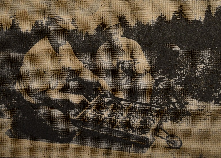 July 26, 1956 — Marshall Strawberries are the variety of choice of two Parkdale growers, Bill Vollmer, left, and Sheldon Laurence. Both have invested in mechanized tools to plant, grow and pick berries. The carrier pictured here facilitates picking and may be pushed between rows beside pickers.