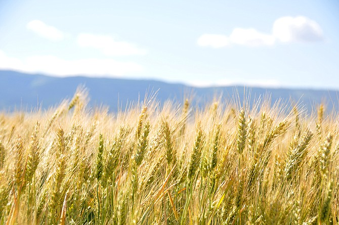 A field of wheat waits for harvest just northwest of Grangeville east of Powerline Road.