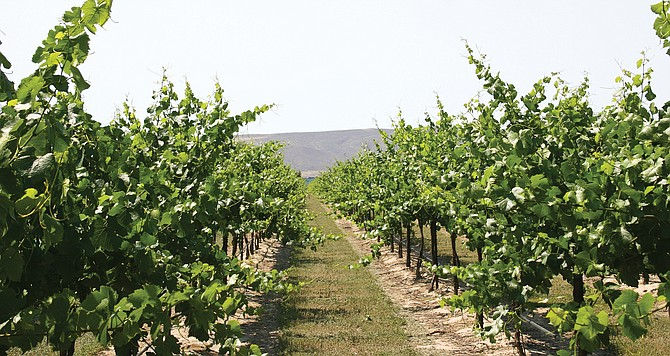 Keeping viruses out of Washington state's grape crop is a priority for Prosser's Clean Plant Center.