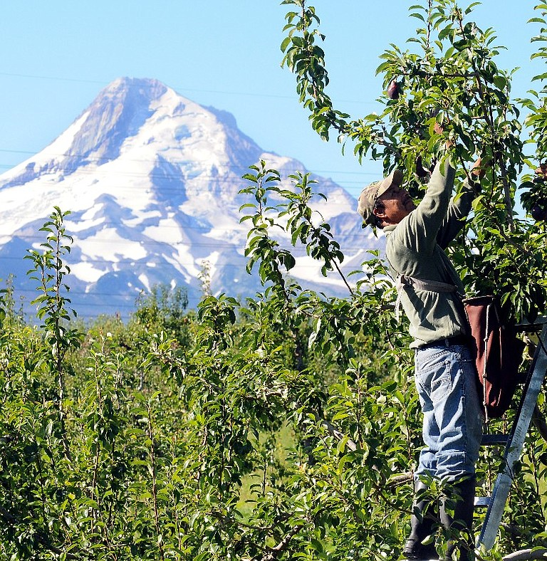 VALLEY orchardists are hoping for a steady flow of water from their primary irrigation source, the glaciers and aquifer of Mount Hood.
