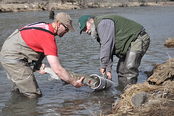 An angler helps IDFG fisheries technician Stan Hawkins slide a steelhead into a collection tube at Outfitter Hole on the South Fork of the Clearwater River, on March 4.