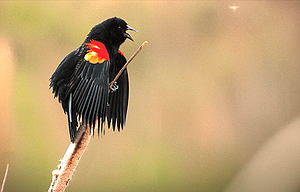 A red-winged blackbird displays from the top of a cattail despite a day of clouds and rain in a Klickitat County marsh Monday afternoon.