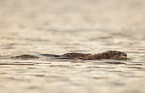 A muskrat swims toward a stand of cattails as spring brings new life to a Klickitat County lake over the weekend.