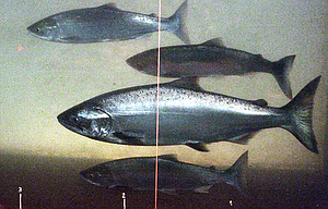 A Chinook salmon, second from the bottom, swims in the Columbia River with sockeye salmon at the Bonneville Dam fish-counting window near North Bonneville, Wash. Juvenile salmon and steelhead migrating out of the Columbia River Basin in high flows are facing a potential lethal problem at spillway dams where increased nitrogen in the water can give fish what divers call the bends.