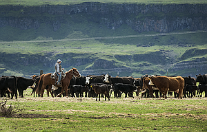 A horseman works through a herd of cattle high above the Columbia River near Wishram Heights, west of Maryhill Museum of Art on Highway 14.