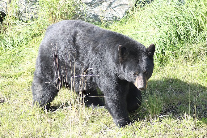 "An ""extremely large black bear"" that Larry Hatter photographed during a trip to Alaska."