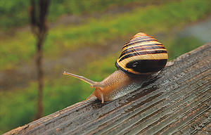 A snail, found in a nearby flowerbed and placed on a rain-splashed porch railing for observation, crawls along the wet wood. An unusually wet spring has delayed planting for many gardners, and increased the number of snails and slugs in area gardens.