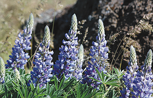 Purple lupine flowers enjoy the recent sunshine on a hillside near the Rowena Crest Viewpoint.
