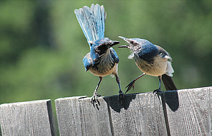 A scrub jay, left, prepares to feed a juvenile jay perched on a neighborhood fence.