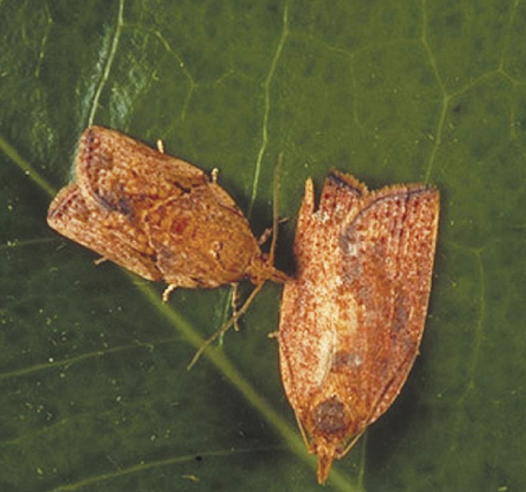 The light brown apple moth has created a need for action to mitigate the infestation as soon as possible, the Oregon Department of Agriculture said.