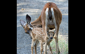 A fawn peers at a photographer between the legs of its momma in this image captured by Scott McMullen recently on Sevenmile Hill.