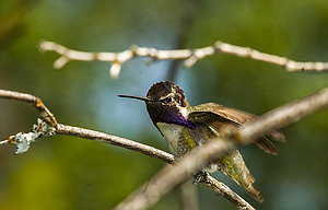 Costa's Hummingbird, common in Southwest deserts, and an uncommon visitor to Oregon, perches near a feeder in Wasco County. The purple throat feathers can be extended.