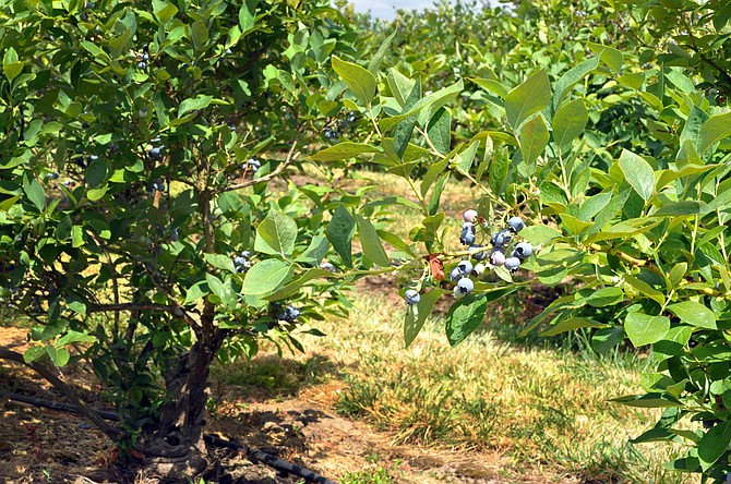 Blueberry farms are in Perrydale and Independence.