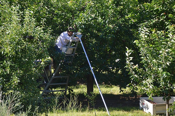 FARMWORKER harvests cherries Sunday in Odell. One Community Health and Mid-Columbia Medical Center have teamed up this summer to provide health screenings to farmworkers in the field.