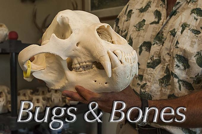 """These skulls, each with a hunter's tag, have been prepared for """"Euoropean mounts,""""a taxidermy method of mounting a trophy which displays just the prepared skull of the animal."""