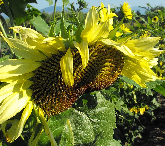 Aug. 6 — Sunflower garden and fresh fruit at Packer Orchards and Farm Place, Thomsen Road in Pine Grove, south of Hood River. Enjoy a self-guided walking tour through sunflower fields (packerorchardsandbakery.com).