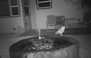 When Denise Ellis set up a trail camera in her backyard, she was hoping to catch photographs of raccoons at her  fountain. Instead the camera, which is triggered automatically by heat and motion, caught this image of an owl visiting the fountain during the night.