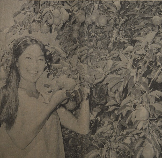 August 10, 1967: A minute portion of Hood River Valley's outstanding Bartlett pear crop is illustrated here by Carol Takasumi, daughter of Mr. and Mrs. Mits Takasumi of Odell. Carol, a sophomore at Oregon State University, is shown with one of her father's heavily-laden Bartlett trees. Harvest for the Bartlett crop is expected to start in the lower valley Sept. 16-18.