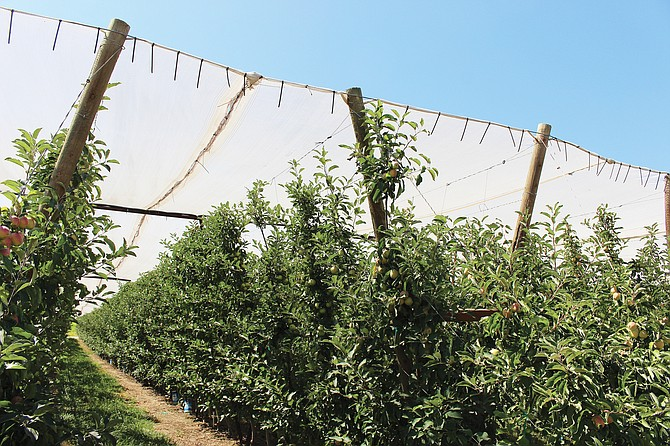 These apples under cover on Ingham Road appear to be ripening in the shade as early apple harvest draws closer.