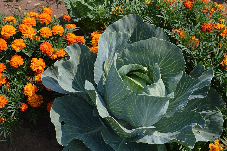 Cabbages and other vegetables grow in tandem with flowers in the FISH Food Bank garden, a natural pest deterrent.