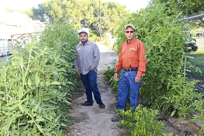 The tomato plants in the Wilbur Ellis employee-run garden are more than six feet tall and loaded with fruit thanks to caretakers Jose Cardenas and Reynaldo Barragan. The garden has been a fixture at the Grandview plant for about seven years.