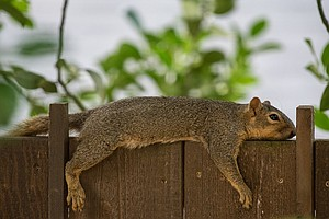 Jurgen Hess's image of a heat-beat squirrel on a fence.