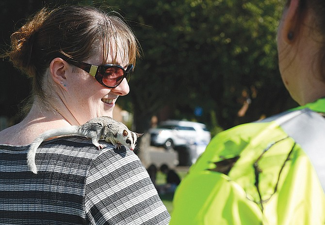 A pair of  curious sugar gliders drew a crowd of onlookers on Saturday at Dallas' Eclipse Celebration on the Square. The small creatures would jump from one person to another and settle on their shoulders, heads or even try crawling in their shirts.