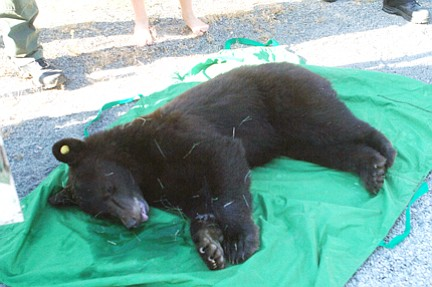 The tranquilized bear is ready to load into the trailer.