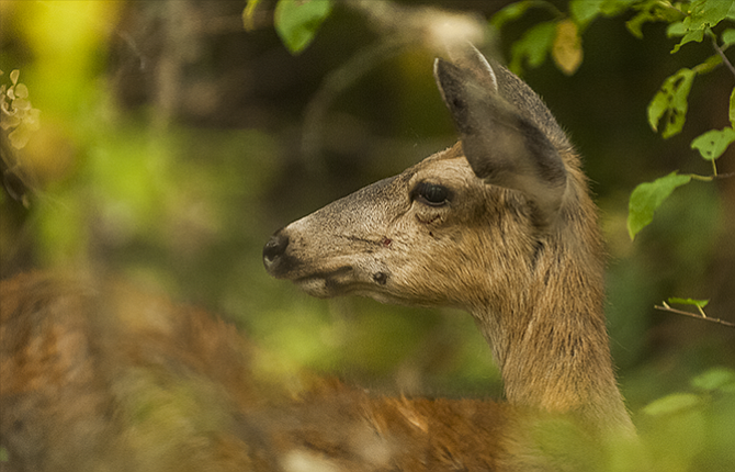 A doe Mule Deer keeps an eye out for trouble as it browses leaves in the foothills of Mt. Hood. Fire restrictions have been increased throughout the Mt. Hood National Forest.
