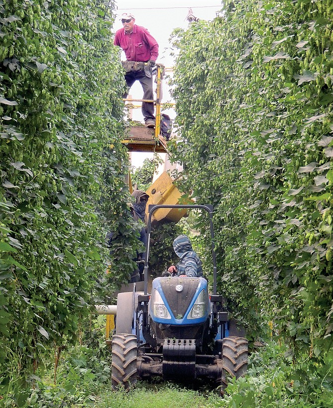 Hop harvest workers at Carpenter Farms, near Granger, wade through recent smoky conditions to get the vines to the picking machine.
