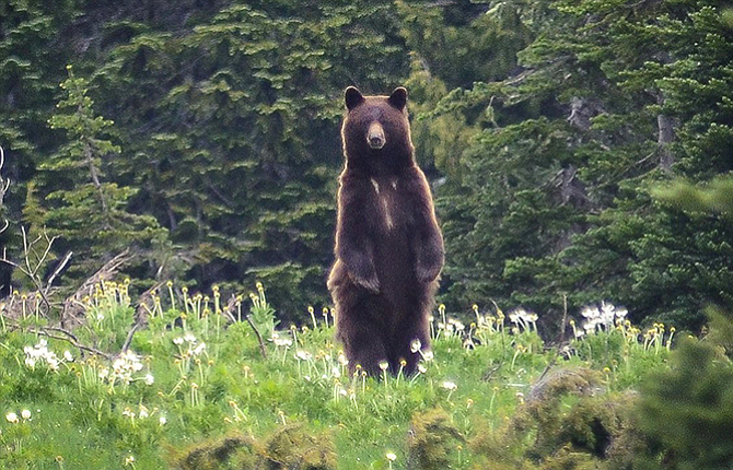 An adult black bear standing on its hind legs after becoming aware of a nearby human presence near Owyhigh Lake in Mount Rainier National Park. Authorities said Friday that an extensive poaching ring is responsible for slaughtering more than 100 black bears, cougars, bobcats, deer and elk in southwestern Washington state and northwestern Oregon, including The Dalles.