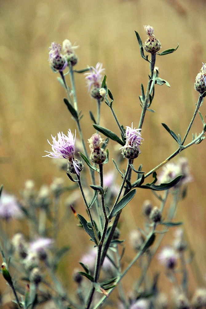 Spotted knapweed is one of the invasive weeds the consortium focuses on during weed control projects.