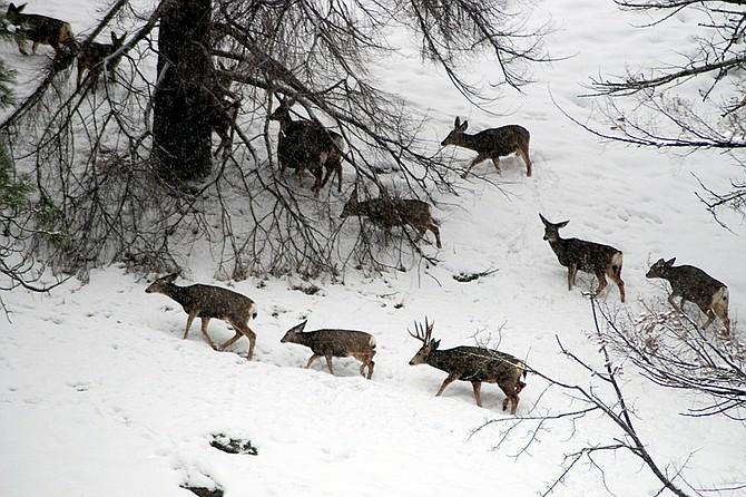 A herd of mule deer wintering along Lake Chelan.
